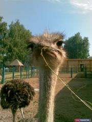 Кто сказал, что на Волге страусы не водятся? :D