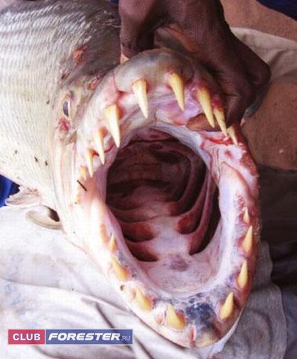 african_tiger_fish1.jpg