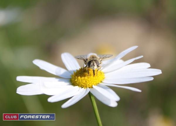 пчёлка.jpg