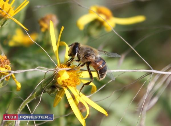 Пчёлка_2.jpg